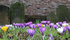 Spring, St Cuthbert's Churchyard (robin denton) Tags: york northyorkshire yorkshire crocus spring flowers flore flora churchyard churchofengland stcuthberts