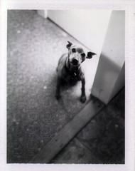 eulogy for a small dog (EllenJo) Tags: harrison miniaturepinscher 20022017 handsome polaroid fujifp100b polaroidpathfinder timsdog pet minipin minpin harrisondied eulogy dog littledoglaughednoiret