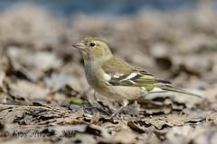 tDSC_0198 (Eyas Awad) Tags: eyasawad nikond800 nikonafs300mmf4 bird birds birdwatching wildlife nature fringuello fringillacoelebs