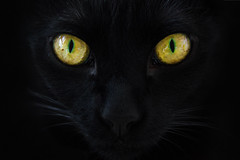 Eyes of gold (Berdougo Michaëla) Tags: cat blackcat black gold yellow green colours colourful colour eyes pet animals animal moustaches powerful look puissance chat noir yeux oeil jaune or couleurs intense rescued survivor survivant