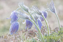 Pasque flower. (BirgittaSjostedt) Tags: pasque flower nature spring rare light bright grass field closeup pulsatillavulgaris pasqueflower texture magicunicornverybest macro ie