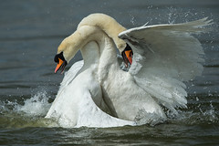 Swans Fighting (Simon Stobart) Tags: mute swan cygnus olor fighting northeast england water lake swimming attacking biting coth5 ngc npc