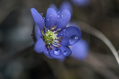 Hepatica nobilis (steffos1986) Tags: flower macro vintage nikon meyer closeup wild rain weather m42 bokeh