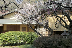 Plum Flower and Japanese Traditional Style House (Kanji Yamada) Tags: plumflower