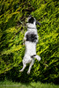Nibbler the Jumping Jack Russell (Mr Whites Paw Prints) Tags: jackrussell nibbler dog