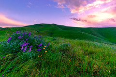 Windy Morning (stuanderson7) Tags: grass sunrise flowers nature mountains outdoor hills clouds california vibrant poppies morning larkspur sky green countryside landscape field samyang12mmf2 californiapoppies