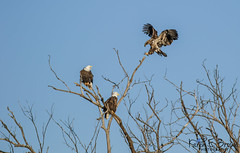 Bald Eagles (BirdFancier01) Tags: nature raptor eagle tree iowa leclaire mississippiriver