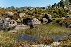 20170301-28-Light alpine scrub (Roger T Wong) Tags: australia greatpinetier np nationalpark sel70300g sony70300 sonya7ii sonyalpha7ii sonyfe70300mmf2556goss sonyilce7m2 tasmania wha wallsofjerusalem worldheritagearea bushwalk camp hike pool reflections tarn trektramp walk water