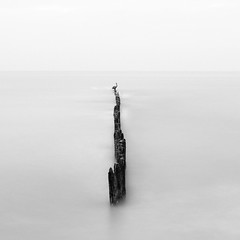 Texas City Dike - Bulkhead and Pelican (Mabry Campbell) Tags: flickrexplore explored explore 2017 galvestoncounty h5d50c hasselblad january mabrycampbell texas texascity texascitydike usa unitedstatesofamerica bird blackandwhite calm coast coastal commercialphotography fineart fineartphotography image longexposure minimal minimalism pelicans photo photograph photographer photography seascape squarecrop f11 january152017 20170115campbellb0001218 80mm 1020sec 100 hc80