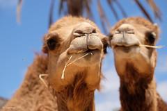 We Are The Prettiest Of The Prettiest (H. Eisenreich) Tags: eisenreich hans fujifilm xt1 oasispark kamel camel