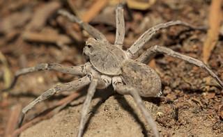 female grey lycosidae