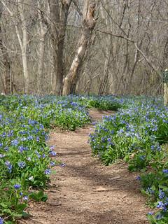 bluebells trail
