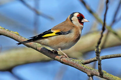 Goldfinch (Roy Lowry) Tags: goldfinch burtonmerewetlands cardueliscarduelis
