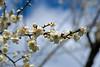 Prunus mume Branch (aeschylus18917) Tags: danielruyle aeschylus18917 danruyle druyle ダニエルルール japan 日本 kyushu 九州県 miyazaki 宮崎県 flower 花 中福良 nakafukura 105mm seasons blossoms plum prunusmume pxt