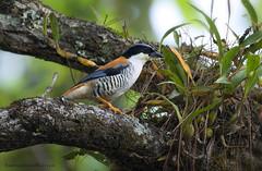 นกขัติยา / Himalayan Cutia / Cutia nipalensis (male) (bambusabird) Tags: wildlife bird cutia babler rainforest forest oriental tropical chiangmai thailand
