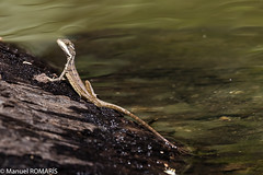 Jesus Christ lizard (Manuel ROMARIS) Tags: nationalpark jesuschristlizard corcovado costarica lizard drakebay corcovadonationalpark bahíadrake provinciadepuntarenas cr