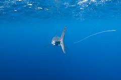 The ultimate predator? (George Probst) Tags: guadalupe greatwhiteshark weisserhai tiburonblanco trash plastic nature blue underwater wildlife