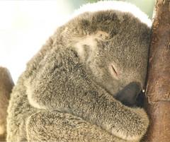 Koalas XXXIV (Josué Godoy) Tags: koala koalas australia animal exotic cute mignon exótico