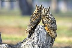 The Long-eared owl (Noor Hussain.) Tags: longeared owl longearedowl asio otus asiootus strix strixotus bird nature natgeo noorhussain ngc birdsofpakistan birdsofmultan bbc wwf iucn wildlifeofpakistan pakistan noor outdoor perfect raptors wildlife wild pair malefemale