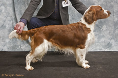Graduate & Special Beginners Dog - Bowdonia Ozzie (evinrisca) Tags: welshspringerspaniel wales chepstow championship dogshow welshie spaniel champshow