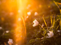 Buschwindröschen im letzten Licht des Tages [Explored 06.04.2017] (Luziferian) Tags: sunset backlight lightleak lensflare nature flower buschwindröschen windflower thimbleweed smellfox woodanemone plant spring vivid
