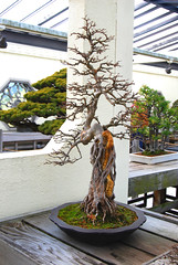 Bonsai, National Arboretum 127560 (thw05) Tags: art bonsai dc nature northamerica penjing people places thwilliamsphotography thomashwilliams thwphotoscom trees usnationalarboretum us usa washington tree plant