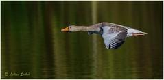 Aerodynamic (lukiassaikul) Tags: wildlifephotography wildanimals birds wildbirds largebirds goose geese greylaggoose uk fly flight wings birdsinflight urbanwildlife weststow naturereserve