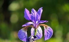 I wish you all a sunny weekend (sabrina. G) Tags: iris juni licht sommer makro sonne garten welikeit artisticflowers mindigtopponalwaysontop lovelyflickr thegoldenachievement