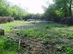 Coppiced plot