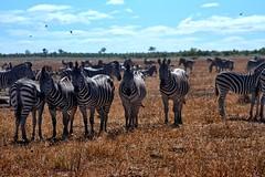 One of these zebras is not like the other (biosynthesis24) Tags: birds southafrica safari giraffe elephants termites impala hippos cheetahs krugernationalpark waterbuffalo crocodiles wildebeest kruger zebras hyenas dika mopani impalaflower