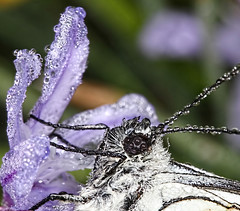 Black veined white butterfly with dew (jrjc2012) Tags: white black macro closeup butterfly lepidoptera dew veined