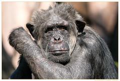 Schimpanse-Allwetterzoo-20140531-Canon-EOS-70D-0187 (gosammy1971) Tags: photography zoo tiere flickr foto tierpark mnster allwetterzoomnster artenschutz