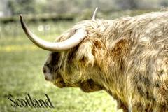 Highland Rind - Highland Cattle (vampire-carmen) Tags: uk pet animal photoshop scotland kuh cow unitedkingdom beef profile lowlands taurus bovine highlandcattle hdr tier bulle schottland grossbritannien stier greatbritian gretnagreen schotsehooglanders vereinigtesknigreich highlandrind  canoneos600d enammalsi       gwarthegucheldir    bestiardelamuntanya   abiesetpecoraeorum highlandlembu highla