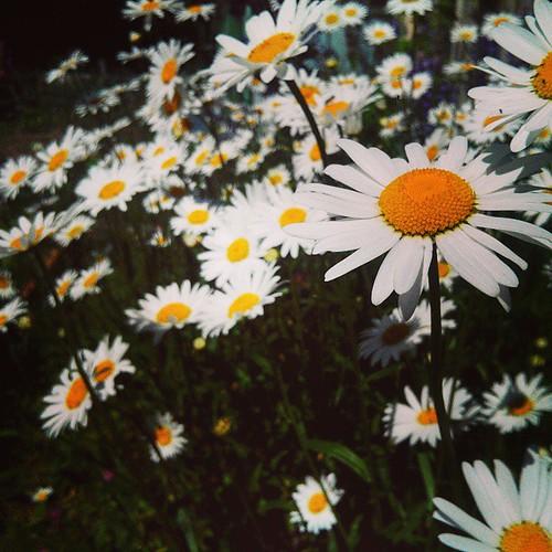 #summer #flowers #лето #ромашки #цветы