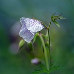 Geranium Clarkei Kashmir White (pollylew) Tags: flower garden geranium cranesbill hardygeranium geraniumclarkeikashmirwhite