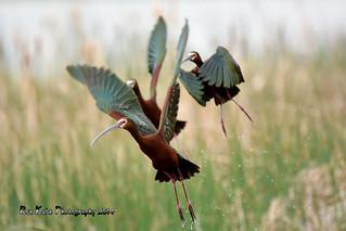 White-faced Ibis Taking Off DSC_4318