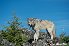 Wolf (Kelly Walkotten) Tags: usa wolf montana wildanimal wolfpup