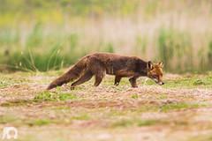 Vulpes vulpes (J. Verspeek) Tags: elephant canon europe belgium tele schelde biology gog kruibeke bazel rupelmonde vulpes
