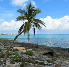 IMG_2365_fix (goatling) Tags: home island climb reptile lizard iguana tropical tropic caribbean cayman coconuttree carib caymanislands tropics grandcayman caribe westbay westindies britishwestindies gcm201407