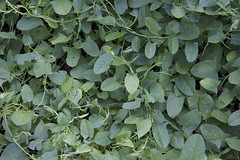 "Convolvulus arvensis: ""Field bindweed"" (marylea) Tags: leaves michigan id vine jun29 2014 convolvulusarvensis washtenawcounty invasivevine"