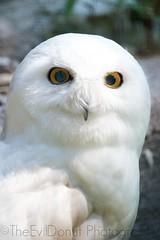 Snowy Owl (TheEvilDonut) Tags: white snow canada birds zoo qubec owl steannedebellevue