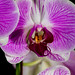 Orchid Study III