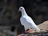 White Dove (albireo 2006) Tags: white bird pigeon dove malta edge whitebird whitepigeon floriana whitedove