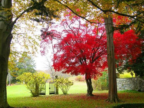 Beautiful Japanese Maple