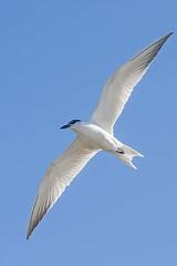 Common Tern In Flight (Geoffsnaps) Tags: sea bird ed flying inflight nikon d 4 australia 300mm queensland if nikkor fx tern f4 afs seabird aerobatic goldcoast commontern sternahirundo f4d d700 nikond700 nikonnikkor300mmf4difedafs