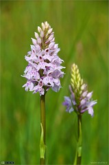 Common Spotted-orchids