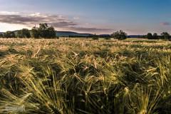 Orge verte et or (ElmerstarK) Tags: france barley bourgogne champ orge tiltshift choreylesbeaune flickrtiltshift nexus5