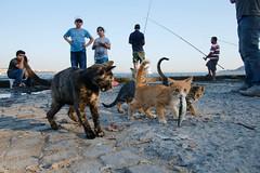 Istanbul - Kabataş (- yt -) Tags: cats turkey seaside fishing istanbul sardine kabataş fujifilmxe1