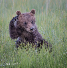 H'mm (MyKeyC) Tags: grizzly brownbear silversalmon brownbearcub silversalrmoncreeklodge cubscratchinghead