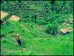 The Rice Terrace (WiLL CWK) Tags: bali green indonesia landscape rice paddy terrace farm hill scenic fields farmer paddies riceterrace tegalalang subak